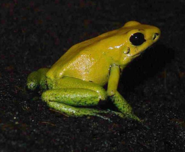 Il dardo nero zampe rana è una specie la cui secrezioni sono utilizzati nella preparazione di dardi avvelenati.  Luis Miguel Sánchez Bugallo, (CC BY-SA 3.0)