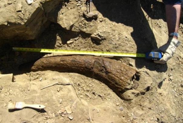 ¿Acaso los humanos andan por la tierra con los dinosaurios?  Triceratops Cuerno fechado en 33.500 años