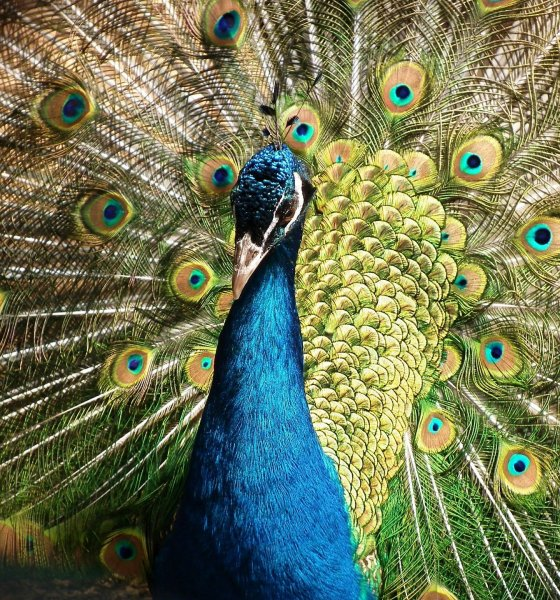 Signifance of Peacock in Vedic Astrology
