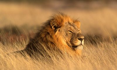 Seeing a Lion in Dream