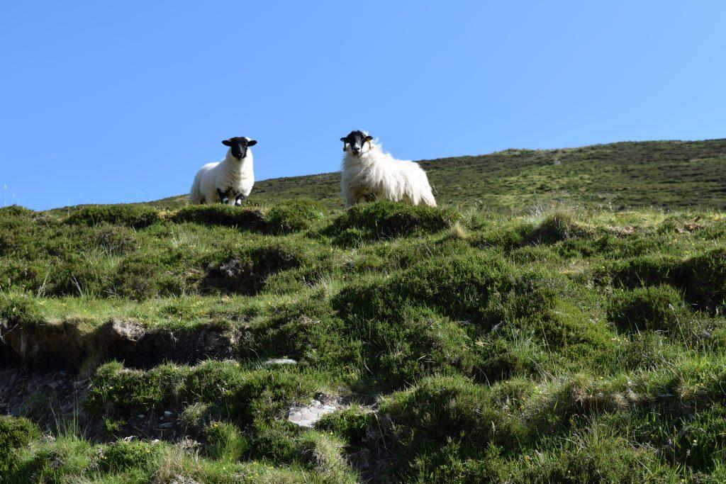Sheep along the Pilgrim's Path