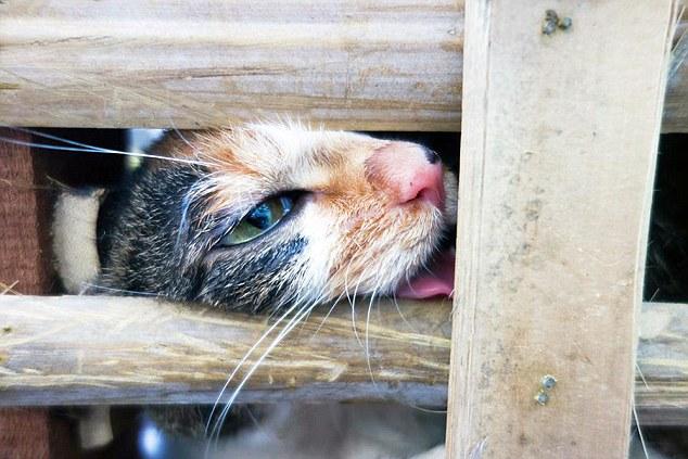 Ativistas de direitos animais resgataram cerca de 1000 gatos que eram transportados para matadouros, onde seriam mortos para consumo humano. Foto: Daily Mail