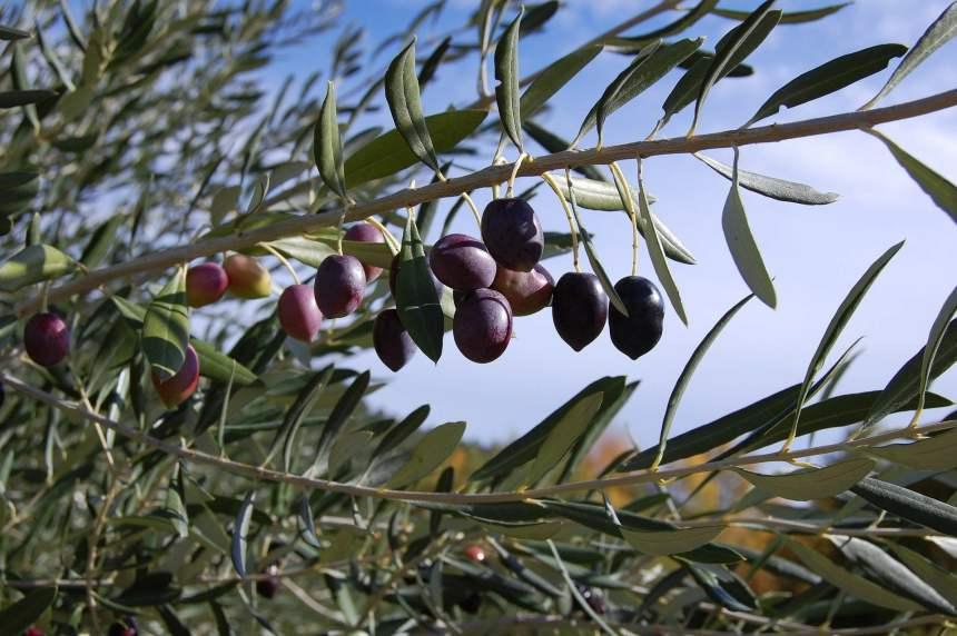 Olive_di_gaeta
