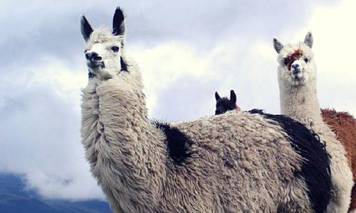 lama cotopaxi photography tour Ecuador & Galapagos