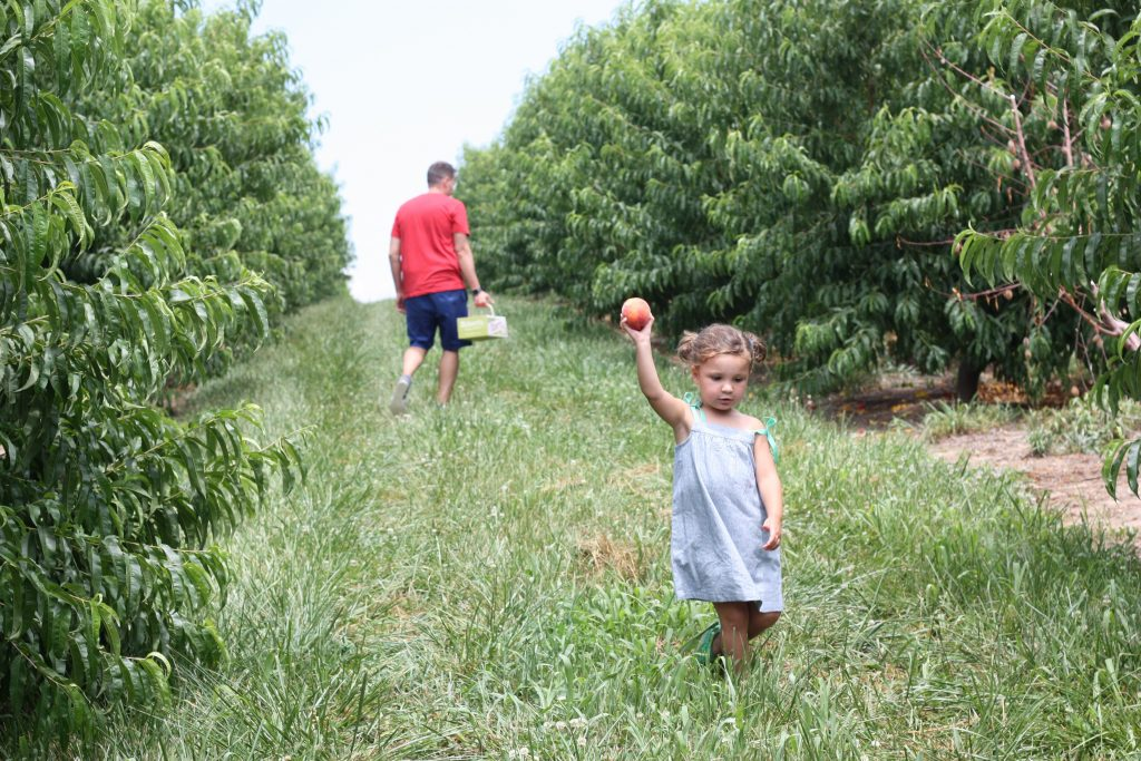 Peach picking fun at eckert 39 s and hattie makes three for Where can i go apple picking near me