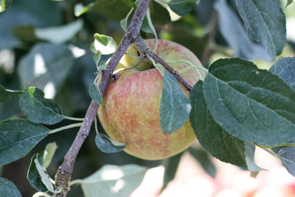 Honeycrisp Apple Picking at Eckert's