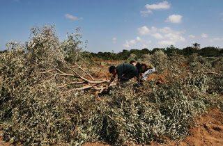A Gaza uccidono anche gli alberi