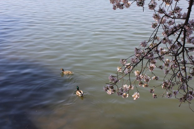 Ducks paddle beneath a flowering cherry branch. (Photo by Andrea Kenner, Apr. 9, 2013)