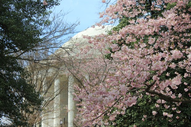 Jefferson Memorial, framed by blossoming cherry trees. (Photo by Andrea Kenner, Apr. 8, 2013)