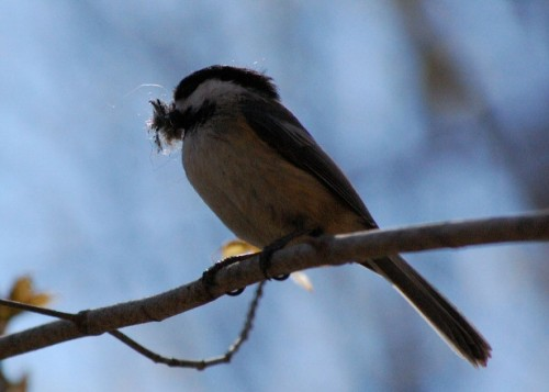 This chickadee will probably cope with global warming all right, but not so with migratory songbirds
