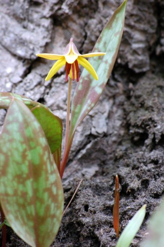 flowering trout lily, April 2009