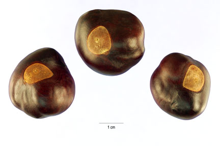 Aesculus glabra seeds (Ohio buckeye tree)