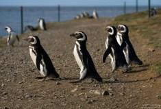 Пингвины-джентльмены отправились на пляж.