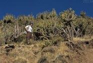 Древовидные кактусы на склонах.