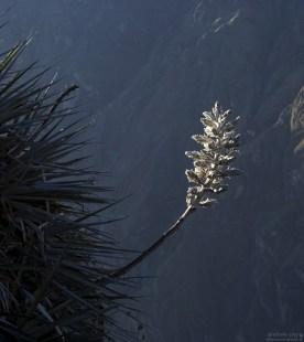 Серебристая агава, растущая прямо на стенах ущелья.