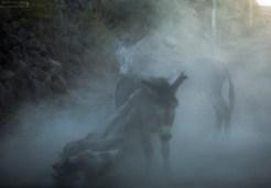 Ослики оттягиваются в пыли после трудового дня.
