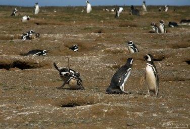 Пингвинья драка.