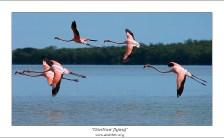 На бреющем... Фламинго на самом взлете, с очень трогательно вытянутыми лапками.