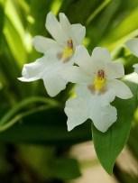 Белоснежные цветы орхидеи Miltoniopsis Warscewiczii.