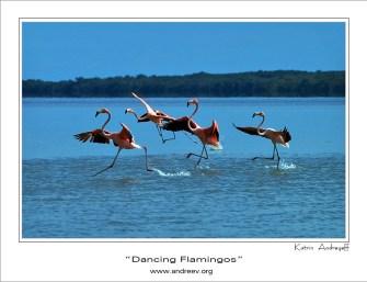 Танцующие фламинго. Группа фламинго, разгоняющаяся перед взлетом. Самый правый - детеныш, копирует поведение взрослых.