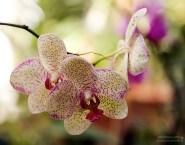 Пятнистая орхидея вида Phalaenopsis.