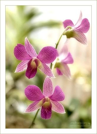Ветка с нежными орхидеями Dendrobium Phalaenopsis (Moth orchid).