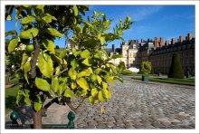Одно из лимонных деревьев в кадках вдоль главного подъезда ко дворцу.