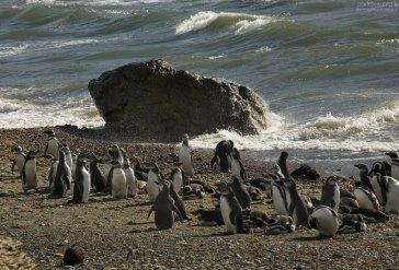 Прилив и пингвинье лежбище.