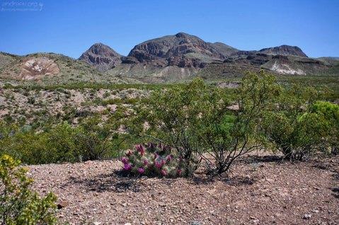 Кактусы вида Strawberry Pitaya Cacti не любят прямой солнечный свет, предпочитая отсиживаться в тени.