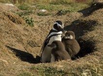Мама пингвиниха с детьми в норе.