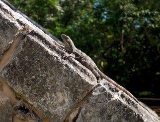 Самка черной игуаны греется на древних камнях пирамиды. Чичен-Ица.