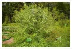 Сахалинская яблоня в ботаническом саду.