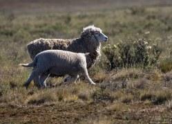 Патагонская овца с дитёнком.