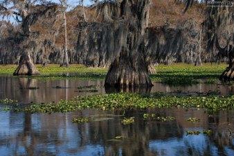 В отличие от остальных членов семьи кипарисов, Bald Cypress - не хвойное, а лиственное дерево.
