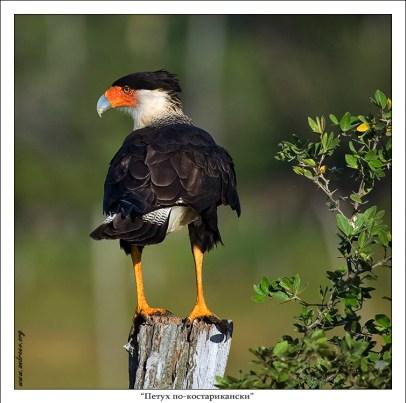 Официальное название птицы – Каракара (Caracara cheriway), но на мой обывательский взгляд петух петухом с экзотическим шармом :) Живет в прериях и саваннах, корм разыскивает низко летая над землей, или бегая на длинных, желтых ногах.