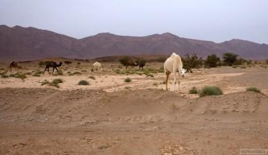 Стадо верблюдов на обочине.