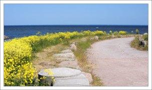 Заросли сурепки по берегу Финского залива.