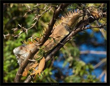 """""""Йог """" Любимец Рабиндраната Тагора :) Самец сухопутной игуаны спокойно разлегся на колючках муравьиной акации. Обычно игуаны окрашиваются в яркий цвет во время брачного сезона, но могут оставаться в таком виде и круглый год, чтобы показать свою важность не только перед другими игуанами, а и перед собаками, кошками, и даже человеком, присутствующими на территории игуаны."""