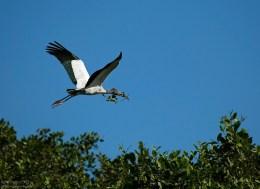 Древесный аист (Wood stork) потащил веточку в свое гнездо на Птичьем острове. Национальный парк Palo Verde.