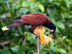 Хищная птица Montezuma Oropendola (Psarocolius montezuma) закусывает папайей.