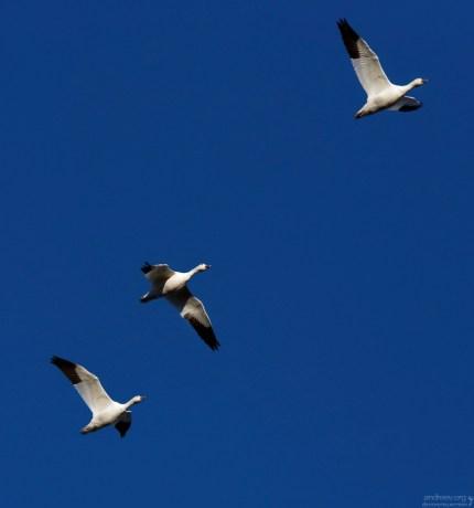 Белые снежные гуси - один из 270 видов птиц, обитающих в заповеднике Bitter Lake National Wildlife Refuge.