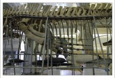 Экспозиция морских млекопитающих в Зоологическом музее.