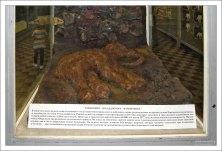 Остатки настоящей шерсти на муляже Магаданского мамонтенка. Зоологический музей.