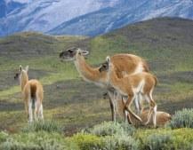 Мама-гуанако вынашивает малыша 11 месяцев, после чего кормит его молоком еще 4 месяца.