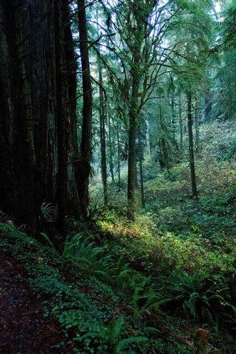 Старый лес в Jedediah Smith Redwoods State Park.