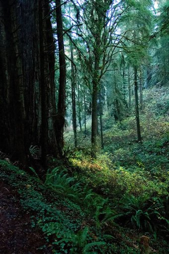 Старый лес в Jedediah Smith Redwoods State Park.