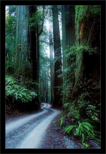 Stout Grove в парке Redwoods state park.