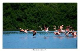 Группа фламинго перед взлетом.