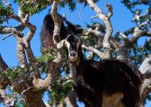 Козы прыгали по ветвям арганий аки белки.