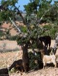 Пастух не давал козам долго задерживаться на одном дереве, чтобы не сильно обгладывали.